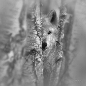 Wolf - Focused - B&W by Collin Bogle