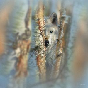 Wolf - Focused by Collin Bogle