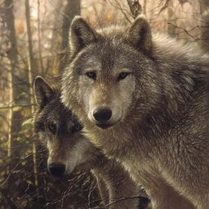 Wolves - Woodland Companions by Collin Bogle