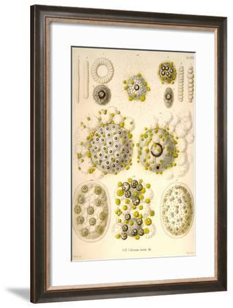Collozoum Merme-Ernst Haeckel-Framed Art Print