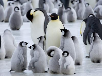 Colony of Emperor Penguins and Chicks, Snow Hill Island, Weddell Sea, Antarctica-Thorsten Milse-Photographic Print