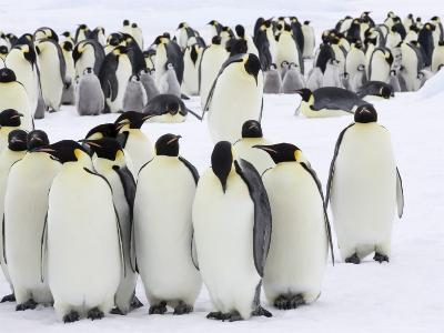 Colony of Emperor Penguins (Aptenodytes Forsteri), Snow Hill Island, Weddell Sea, Antarctica-Thorsten Milse-Photographic Print