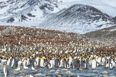 Colony of King Penguin, Aptenodytes Patagonicus-Tom Murphy-Photographic Print