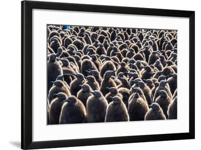 Colony of King Penguins, Aptenodytes Patagonicus, Chicks at South Georgia Island-Tom Murphy-Framed Photographic Print