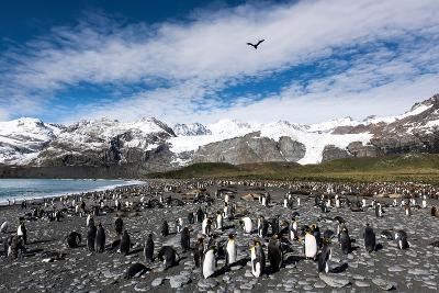 Colony of King Penguins (Aptenodytes Patagonicus) Gold Harbour South Georgia-Renato Granieri-Photographic Print