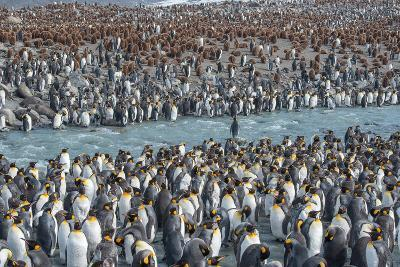 Colony of King Penguins, Aptenodytes Patagonicus, Near the Shore at South Georgia Island-Tom Murphy-Photographic Print