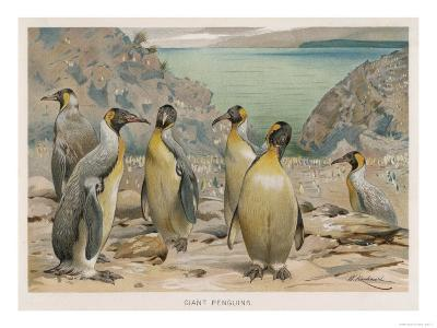 Colony of King Penguins--Giclee Print