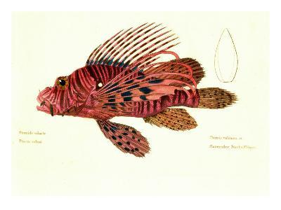 Color Lithographs with Fishes--Giclee Print