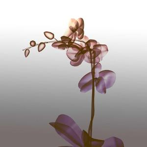 Ombre Orchid X-Ray by Color Me Happy