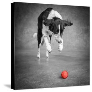 Color Pop, Portrait of a Border Collie Mix Dog, Living Coral