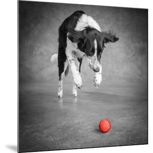 Color Pop, Portrait of a Border Collie Mix Dog, Living Coral
