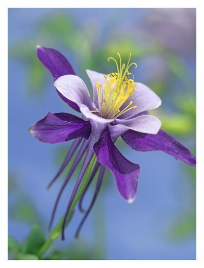 Colorado Blue Columbine close up of bloom, North America-Tim Fitzharris-Art Print