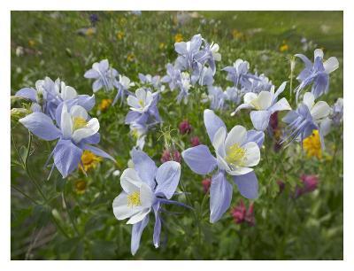 Colorado Blue Columbine flowers, American Basin, Colorado-Tim Fitzharris-Art Print