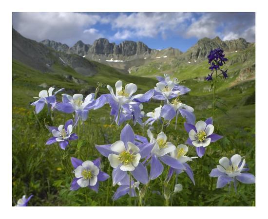 Colorado Blue Columbine meadow at American Basin, Colorado-Tim Fitzharris-Art Print