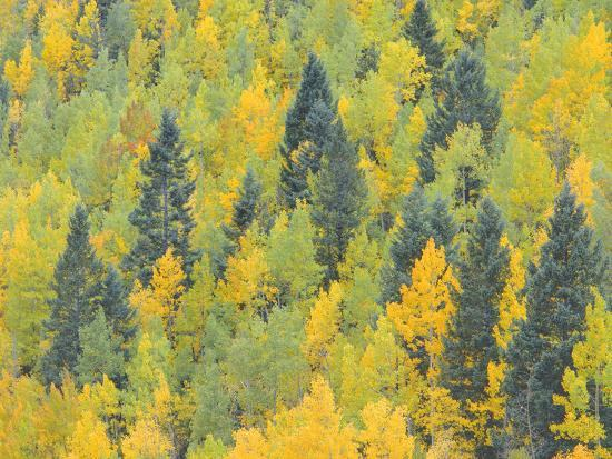 Colorado, Fall Adds Color to Aspen and Conifer Forest Near Lime Creek in the San Juan Mountains-John Barger-Photographic Print