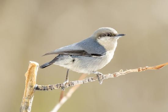 Colorado, Frisco. Close-Up of Pygmy Nuthatch-Jaynes Gallery-Photographic Print