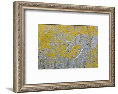 Colorado, Grand Mesa. Early Snow on Aspen Trees-Jaynes Gallery-Framed Photographic Print