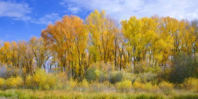 https://imgc.artprintimages.com/img/print/colorado-narrowleaf-cottonwood-and-willows-display-fall-color-along-a-side-channel-gunnison-river_u-l-q13ar9f0.jpg?p=0