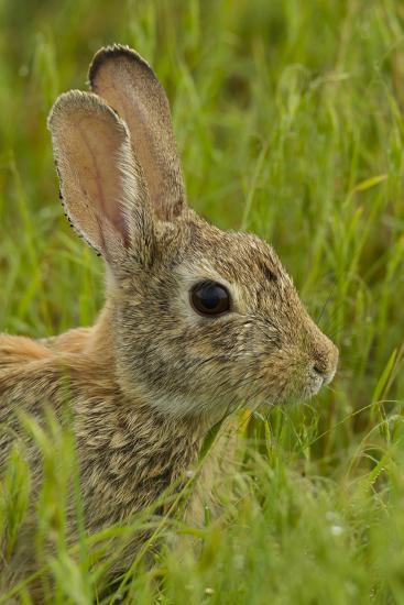 Colorado, Rocky Mountain Arsenal. Side Portrait of Cottontail Rabbit-Cathy & Gordon Illg-Photographic Print
