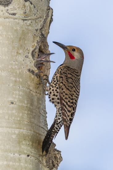 Colorado, Rocky Mountain NP. Red-Shafted Flicker Outside Tree Nest-Cathy & Gordon Illg-Photographic Print