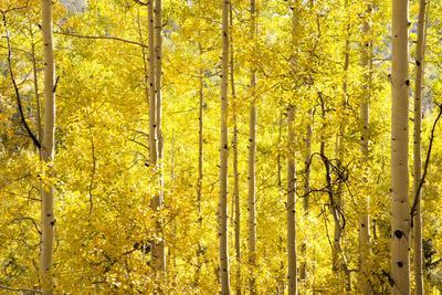 https://imgc.artprintimages.com/img/print/colorado-san-juan-mountains-aspen-trees-in-autumn-color_u-l-q13bdsm0.jpg?p=0