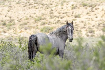 Colorado, Sand Wash Basin. Close-Up of Wild Horse-Jaynes Gallery-Photographic Print