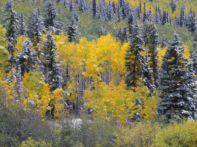 Colorado, Uncompahgre National Forest, Snowfall on Fall Colored Aspen and Spruce-John Barger-Photographic Print