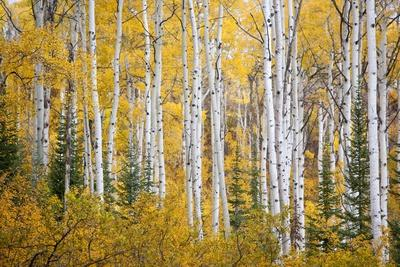 https://imgc.artprintimages.com/img/print/colorful-aspen-trees-thorpe-mountain-colorado_u-l-pznz420.jpg?p=0