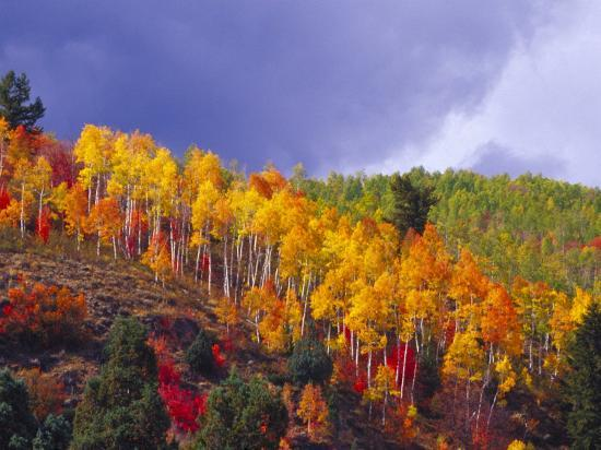 Colorful Aspens in Logan Canyon, Utah, USA-Julie Eggers-Photographic Print
