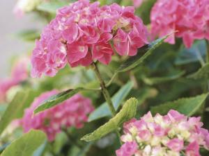 Colorful Blossoms of Pink Hydrangea