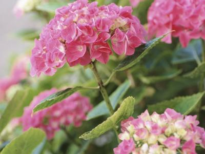 Colorful Blossoms of Pink Hydrangea--Photographic Print