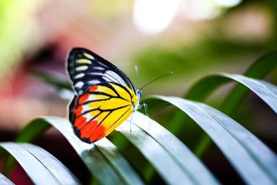 Colorful Butterfly Resting on the Palm Tree Leaf in Thailand.- Rrrainbow-Photographic Print