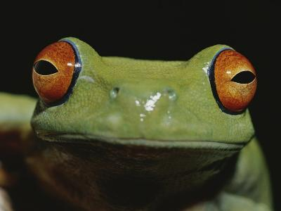 Colorful Close View of Red-Eyed Tree Frog-Jason Edwards-Photographic Print