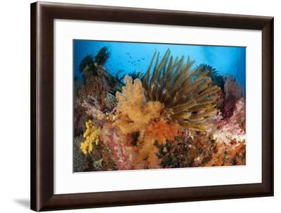 Colorful Crinoids and Soft Corals Adorn a Reef in Raja Ampat--Framed Photographic Print