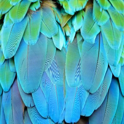 Colorful Feathers, Harlequin Macaw Feathers Background Texture-Panu Ruangjan-Photographic Print