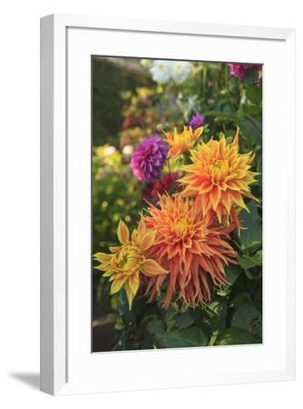 Colorful flowers in a garden on Vancouver Island, British Columbia, Canada.-Stuart Westmorland-Framed Photographic Print