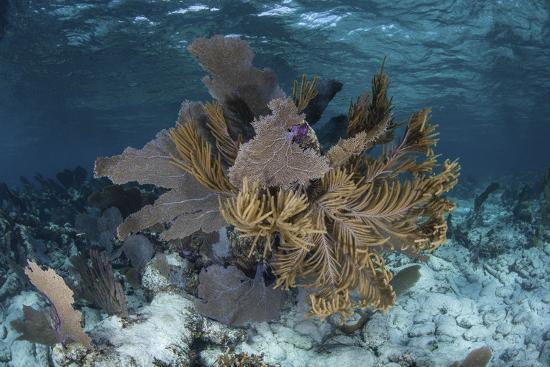 Colorful Gorgonians Grow in Off Turneffe Atoll in Belize-Stocktrek Images-Photographic Print