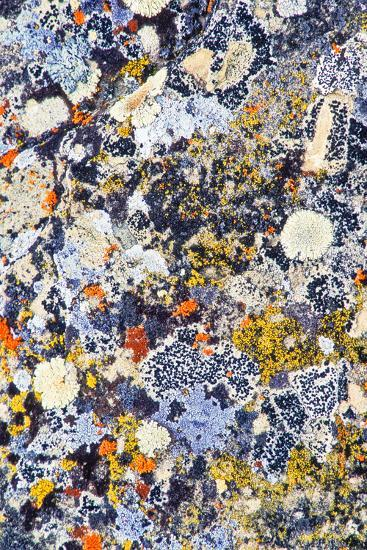 Colorful Lichens, a Symbiotic Association of Cyanobacteria or Green Algae and Filamentous Fungi-Tom Murphy-Photographic Print