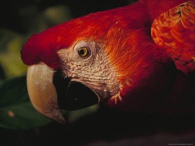 Colorful Macaw, Antigua, Guatemala-John & Lisa Merrill-Photographic Print