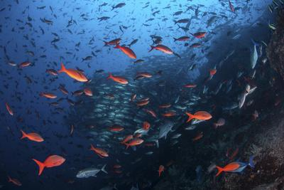 Colorful Pacific Creolefish in Deep Water Near Cocos Island, Costa Rica-Stocktrek Images-Photographic Print