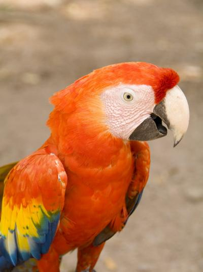 Colorful Red Macaw Bird, Copan Ruins, Honduras-Bill Bachmann-Photographic Print