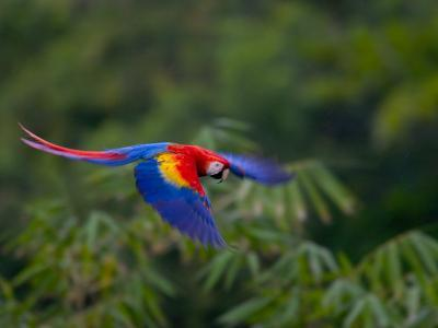 Colorful Scarlet Macaw (Ara Macao) in Flight Over Green Forest-Roy Toft-Photographic Print
