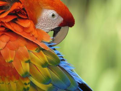Colorful Scarlet Macaw-Ralph Clevenger-Photographic Print