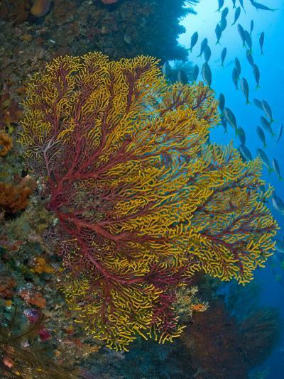 Colorful Sea Fan Or Gorgonian Coral, Raja Ampat, Indonesia--Photographic Print