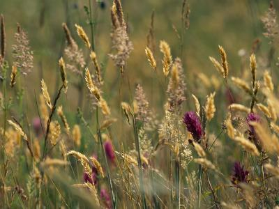 Colorful Seed Heads on Swaying Grasses-Norbert Rosing-Photographic Print