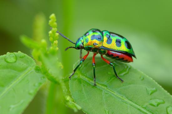Colorful Shield Bug-YapAhock-Photographic Print