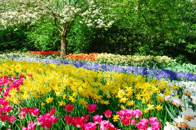 Colorful Springflowers and Blossom in Dutch Spring Garden 'Keukenhof' in Holland-dzain-Premium Photographic Print