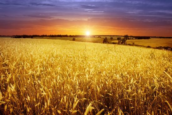 Colorful Sunset over Wheat Field.-Elenamiv-Photographic Print