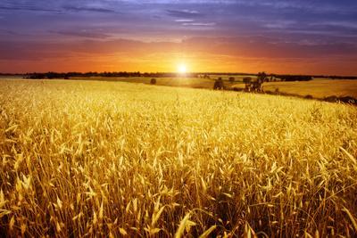 https://imgc.artprintimages.com/img/print/colorful-sunset-over-wheat-field_u-l-q1049tf0.jpg?p=0