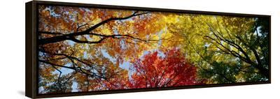 Colorful Trees in Fall, Autumn, Low Angle View--Framed Canvas Print